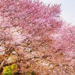 La signification des fleurs dans la culture japonaise