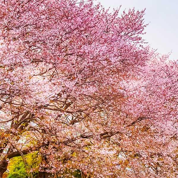 La Signification Des Fleurs Dans La Culture Japonaise Mikatani
