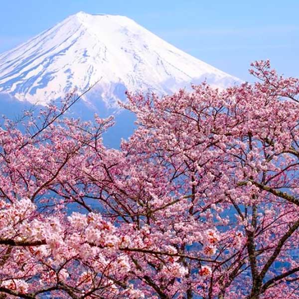 Fleur de japon