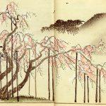 Shokei (1890) Cerise pleureuse de Gion
