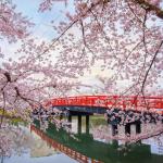 cerisier japonais pont rouge